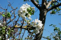 Δέντρο της Apple στην άνθιση Στοκ Φωτογραφία