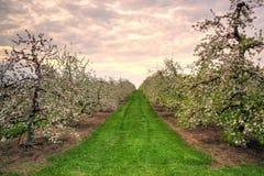 Δέντρο της Apple στην άνθιση Στοκ εικόνες με δικαίωμα ελεύθερης χρήσης
