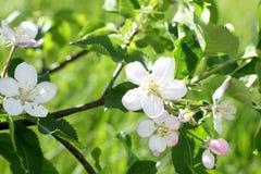 Δέντρο της Apple στην άνθιση Στοκ Εικόνες