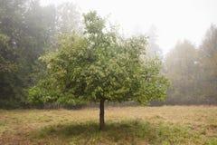 Δέντρο της Apple στην ομίχλη. Στοκ φωτογραφίες με δικαίωμα ελεύθερης χρήσης