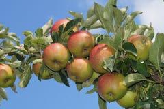 Δέντρο της Apple στην παλαιά χώρα Αμβούργο Στοκ Εικόνες