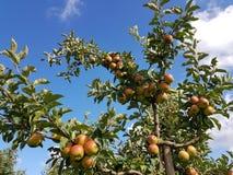 Δέντρο της Apple στην παλαιά χώρα Στοκ εικόνα με δικαίωμα ελεύθερης χρήσης