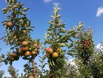 Δέντρο της Apple στην παλαιά χώρα Στοκ Φωτογραφία