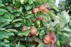 Δέντρο της Apple στην παλαιά χώρα Στοκ Εικόνες