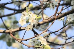 Δέντρο της Apple στην πλήρη άνθιση Στοκ φωτογραφία με δικαίωμα ελεύθερης χρήσης