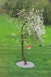 Δέντρο της Apple στην πλήρη άνθιση Στοκ εικόνα με δικαίωμα ελεύθερης χρήσης