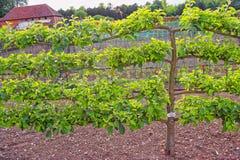Δέντρο της Apple στον κήπο κουζινών στο τέλος Audley Στοκ Φωτογραφία