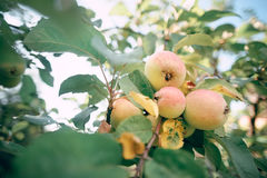 Δέντρο της Apple στον κήπο με τα φρούτα στους κλάδους Στοκ Φωτογραφία