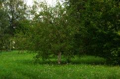 Δέντρο της Apple στον κήπο το καλοκαίρι Στοκ Εικόνα