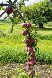 Δέντρο της Apple στον οπωρώνα μήλων στην εκτός κράτους Νέα Υόρκη Στοκ Εικόνες