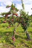 Δέντρο της Apple στον οπωρώνα μήλων στην εκτός κράτους Νέα Υόρκη Στοκ εικόνα με δικαίωμα ελεύθερης χρήσης