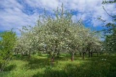 Δέντρο της Apple στον οπωρώνα Στοκ Φωτογραφίες