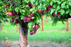 Δέντρο της Apple στον οπωρώνα Jonamac Στοκ φωτογραφίες με δικαίωμα ελεύθερης χρήσης