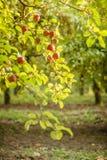 Δέντρο της Apple στον παλαιό οπωρώνα μήλων Στοκ Εικόνα