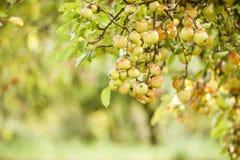 Δέντρο της Apple στον παλαιό οπωρώνα μήλων Στοκ Εικόνες