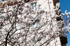 Δέντρο της Apple στο άνθος ενάντια σε ένα ρόδινο κτήριο Στοκ φωτογραφία με δικαίωμα ελεύθερης χρήσης