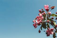 Δέντρο της Apple στο άνθος, υπόβαθρο φύσης άνοιξη Στοκ Εικόνες