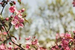 Δέντρο της Apple στο άνθος, υπόβαθρο φύσης άνοιξη Στοκ Φωτογραφίες