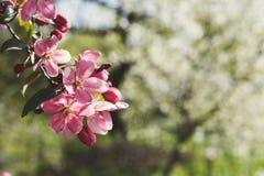 Δέντρο της Apple στο άνθος, υπόβαθρο φύσης άνοιξη Στοκ φωτογραφία με δικαίωμα ελεύθερης χρήσης