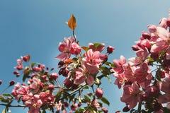 Δέντρο της Apple στο άνθος, υπόβαθρο φύσης άνοιξη Στοκ Εικόνα