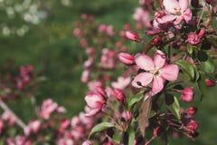 Δέντρο της Apple στο άνθος, υπόβαθρο φύσης άνοιξη Στοκ εικόνα με δικαίωμα ελεύθερης χρήσης