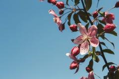 Δέντρο της Apple στο άνθος, υπόβαθρο φύσης άνοιξη Στοκ εικόνες με δικαίωμα ελεύθερης χρήσης