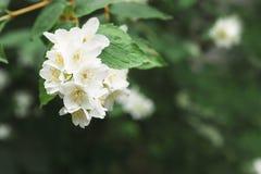 Δέντρο της Apple στο άνθος, υπόβαθρο φύσης άνοιξη Στοκ φωτογραφίες με δικαίωμα ελεύθερης χρήσης