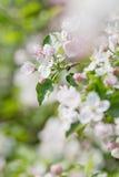 Δέντρο της Apple στο άνθος Στοκ Φωτογραφία