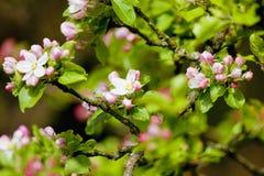Δέντρο της Apple στο άνθος Στοκ εικόνα με δικαίωμα ελεύθερης χρήσης