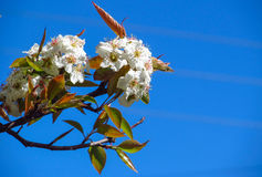 Δέντρο της Apple στο άνθος Στοκ Φωτογραφίες