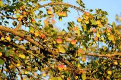 Δέντρο της Apple στο ηλιοβασίλεμα Στοκ Φωτογραφίες