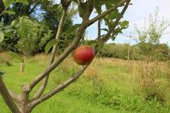 Δέντρο της Apple στο μικρό οπωρώνα Στοκ φωτογραφίες με δικαίωμα ελεύθερης χρήσης
