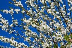 Δέντρο της Apple στο λουλούδι Στοκ φωτογραφία με δικαίωμα ελεύθερης χρήσης