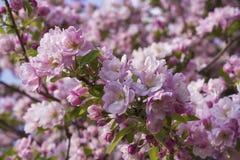 Δέντρο της Apple στο πλήρες φύλλωμα με τα λουλούδια Στοκ φωτογραφία με δικαίωμα ελεύθερης χρήσης
