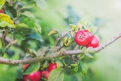 Δέντρο της Apple στο υπόβαθρο οπωρώνων Στοκ φωτογραφίες με δικαίωμα ελεύθερης χρήσης