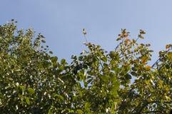 Δέντρο της Apple στο υπόβαθρο του ανοικτό μπλε ουρανού καλοκαίρι θερμό Στοκ Φωτογραφίες