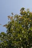 Δέντρο της Apple στο υπόβαθρο του ανοικτό μπλε ουρανού καλοκαίρι θερμό Στοκ φωτογραφία με δικαίωμα ελεύθερης χρήσης