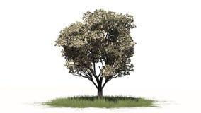 Δέντρο της Apple την άνοιξη με τα άνθη - που χωρίζονται στο άσπρο υπόβαθρο Στοκ εικόνες με δικαίωμα ελεύθερης χρήσης