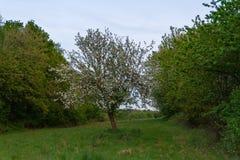 Δέντρο της Apple την άνοιξη Στοκ εικόνα με δικαίωμα ελεύθερης χρήσης
