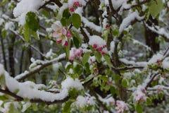 Δέντρο της Apple τον Απρίλιο με τα άνθη και το χιόνι Στοκ Εικόνες