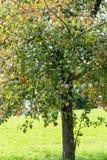 Δέντρο της Apple το καλοκαίρι με τα ώριμα μήλα που κρεμούν από το Στοκ Εικόνες