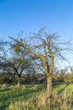 Δέντρο της Apple το φθινόπωρο κάτω από το μπλε ουρανό Στοκ Φωτογραφίες