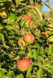 Δέντρο της Apple το φθινόπωρο Στοκ Φωτογραφίες