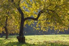 Δέντρο της Apple το φθινόπωρο. Στοκ Φωτογραφία