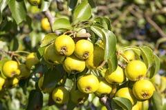 Δέντρο της Apple το φθινόπωρο Στοκ φωτογραφίες με δικαίωμα ελεύθερης χρήσης