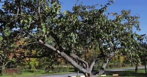 Δέντρο της Apple χωρίς μήλα απόθεμα βίντεο