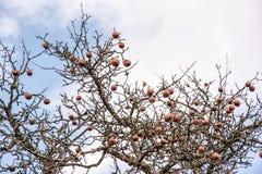 Δέντρο της Apple χωρίς φύλλα και με τα φρούτα το χειμώνα Στοκ Εικόνα