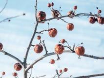 Δέντρο της Apple χωρίς φύλλα και με τα φρούτα το χειμώνα Στοκ Φωτογραφία