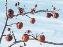 Δέντρο της Apple χωρίς φύλλα και με τα φρούτα το χειμώνα Στοκ Εικόνες