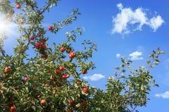 Δέντρο της Apple, ώριμα μήλα Στοκ εικόνες με δικαίωμα ελεύθερης χρήσης